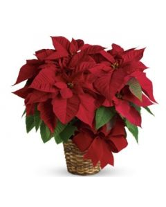 Single Red Poinsettia